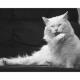 gato persa blanco lavándose
