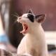 gato estornuda gato con la boca abierta