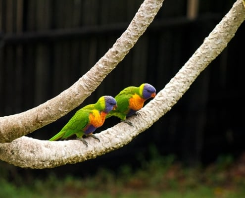 Aspergillosis Pareja de loris en rama de aviario